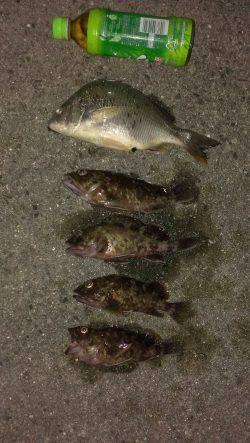 サビキ釣りで釣れたカタクチイワシをエサにガシラ・キビレ