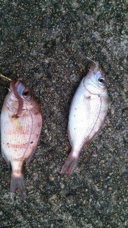 香住東港と西港でちょい投げ チャリコとキスの釣果