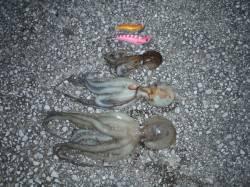 貝塚 タコエギ釣行で3バイゲット