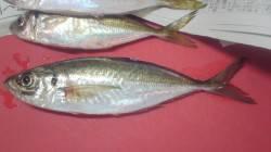谷川漁港 20cm位の小鯵がポツポツ釣れました