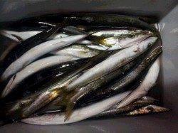 萩尾漁港~串本漁港にてミノー、ワームなどでカマス多数