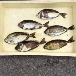 マリーナシティ海釣り公園 アイゴ&アジの釣果