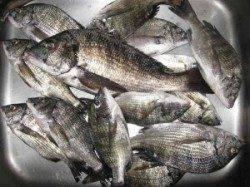 久美浜の筏カセ秋期チヌ解禁!朝から丸貝で7枚バラシの人も…
