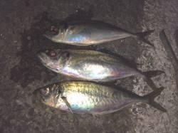 小島漁港にてアオイソメのウキ釣りで良型アジ35cm