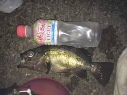 加太漁港 夜釣りフカセで岸際を丁寧に狙ってメバルの釣果