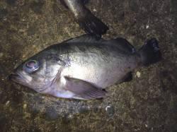 加太漁港で夜釣り テトラ周りと堤防際を中心に攻めメバルの釣果