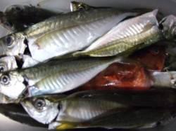 香住西港 アジのほか多彩な魚種が釣れました