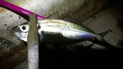 神戸空港アジング カスタムしたロッドでアタリもとれ楽しい釣行でした