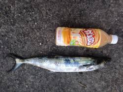 南芦屋浜にてショアジギングでサゴシ タチウオの情報もあり