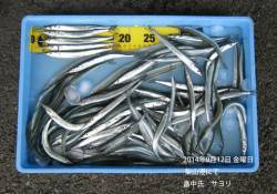 柴山港にてサヨリの釣果