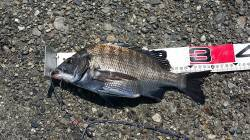 高砂埋立地 リベンジのフカセ釣り釣行でチヌ最大42cmの釣果