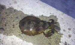 伊根でエギング 少ないアタリをあわせ慎重に揚げると18cmのアオリイカ