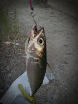 舞洲 メタルジグでサバが釣れました