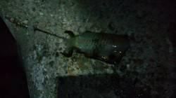 林崎漁港 朝マズメにエギングでアオリイカ ジグにタコも