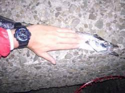 エサ釣りでワインドのリベンジ タチウオ2hit3byteでした