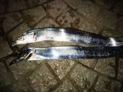 貝塚周辺タチウオワインド 1匹目は中層ダート、2匹目はフリーフォールで丸呑み