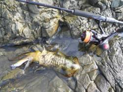 ケムリ島 エギングでアオリイカ カワハギは良型が釣れました