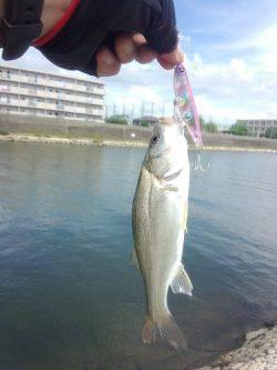 明石川にメッキ狙いで釣行 メッキ・チビシーバス多数・ダツ・フグの釣果