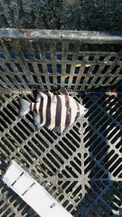 大津川河口 新浜港湾緑地の対岸で投げでキビレ&ウキ釣りでサンバソウ・グレ