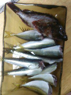 小島周辺 昼は穴釣りでガシラ 夜のアジングは回遊なくアジは0…