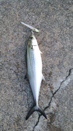 神戸港ワインド釣行 タチウオ良型混じりにサゴシも