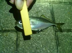 大阪南港 アジング釣行はアジ37尾&サバ2尾の好釣果