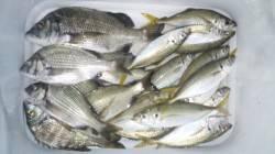 日高川河口フカセ釣り 本命のチヌと良型アジで楽しめました