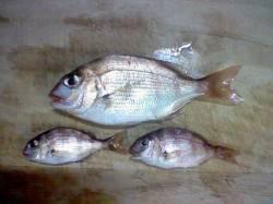 浅茂川 エサ取りが多い中ウキ釣りでタイ3尾