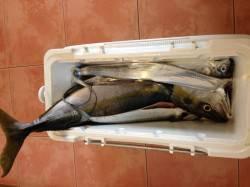 岸和田沖一文字 のませ釣りで82cmのブリ! タチウオの釣果も