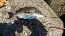 助松埠頭周辺 エビ撒きハネ&フカセチヌの釣果