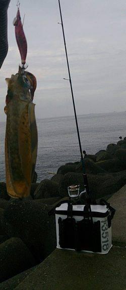 貝塚人工島アオリイカ アベレージサイズより一回り大きい貴重な1杯