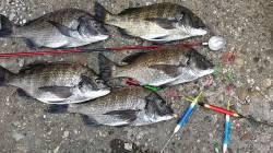 爆風でしたがフカセ釣りでチヌ スバリが減りました(^^)