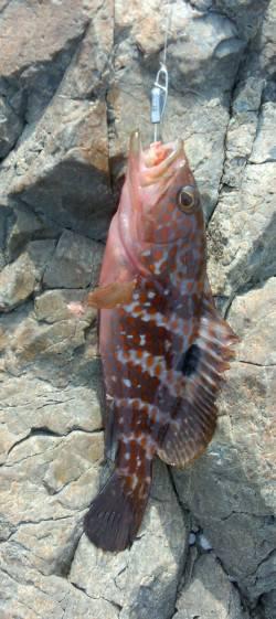 高浜 根魚狙いに変更してアコウ ドラグ鳴らすアタリはフックアウト…