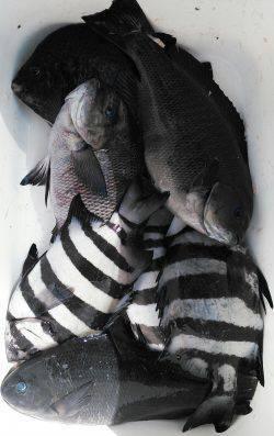香住でフカセ 青物はいませんがイシガキ・イシダイの釣果がでました