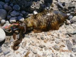 江尻周辺 サイトでアオリイカ本日最大18cm315gをゲット♪