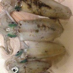 海南エギング釣行 2.5号でコロッケ・トンカツサイズをGET