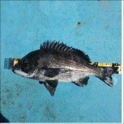 千歳の沖防波堤にトライ 二人でチヌ50cmを頭に7匹の釣果