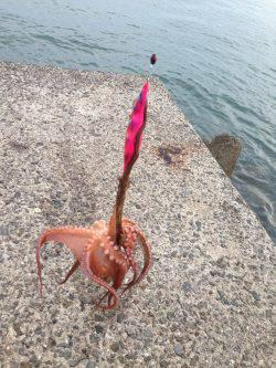 西鳥取漁港アオリイカ狙いでエギング…かかっていたのはタコでした