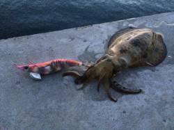 北港 夕方からのエギング釣行でアオリイカの新子