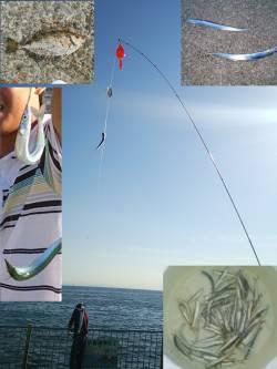 南芦屋浜 サビキで釣れたカタクチイワシでタチウオ狙い