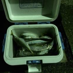 神戸港周辺へアオイソメで釣行 飽きることなくアジ釣れ続けました