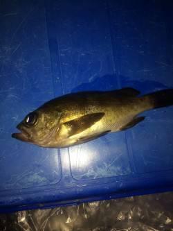 泉佐野 ウキ釣りでメバル、まだ早いのか何とか1匹 ほかガシラの釣果