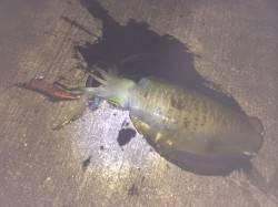 和歌山北港魚つり公園 潮が効いているところでアオリイカヒット