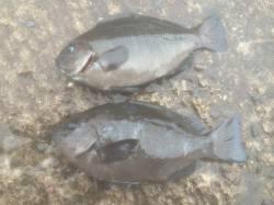 北港魚つり公園 タナ4ヒロ半でグレのほかチヌ・カワハギも釣れました