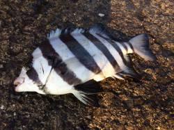 北港魚つり公園へカゴ釣り釣行 グレとサンバソウ
