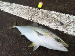 アオリイカと青物狙いで北港へ ノマセで58cmのハマチ