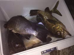 紀ノ川河口 ウキ釣りでアジ・メバル・グレ メバルの連発もあり