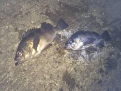 紀ノ川河口 夜釣りにいってきました ウキ釣りでガシラ・メバル・アジ