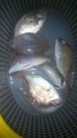 兵庫突堤 投げ釣りでキス&チャリコ タチウオは姿見えず