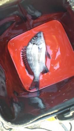 新浜漁港 昼はダンゴでチヌ、夜はエギングでアオリイカ